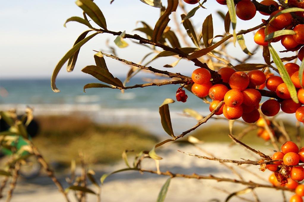Sanddorn – Die Orangen Beeren Von Der Ostsee